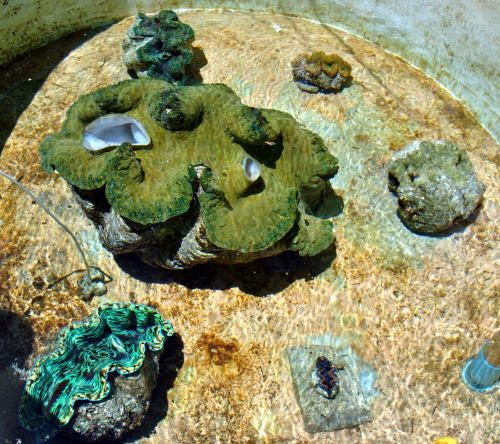 Camiguin giant clams species