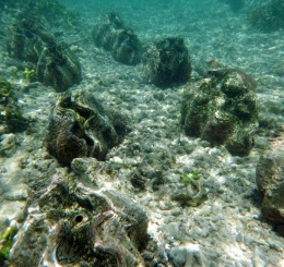 Camiguin giant clams underwater