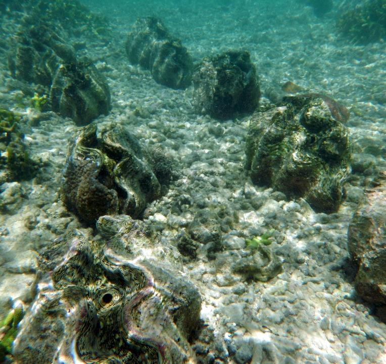 Camiguin giant clams underwater