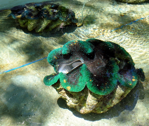 Camiguin Giant clams