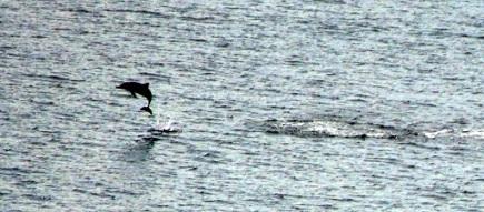 dolphin maluku