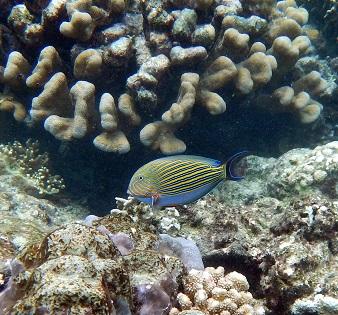 snokelling hatta fish 2