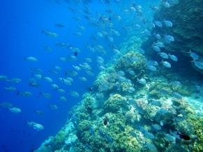 snorkelling hatta fish